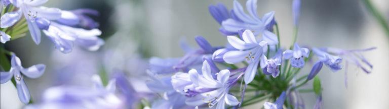 親と子のリレーションシップほくりく アガパンサスの花の画像